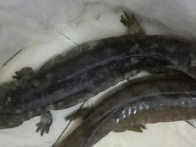 湖北黄冈娃娃鱼人工养殖 5斤以下