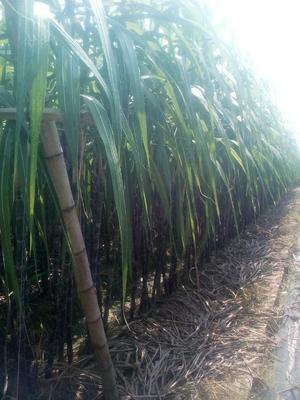 广东清远黑皮甘蔗 5 - 6cm 2 - 2.5m 甘蔗 黑皮果蔗