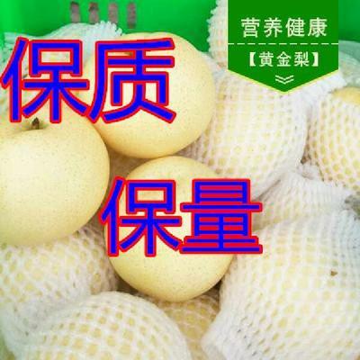 山东日照黄金梨 75mm以上 150-200g 黄金梨梨