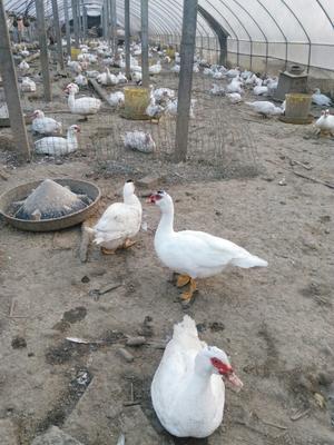 河南商丘鸳鸯鸭 7-8斤 公
