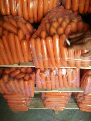 陕西省榆林市定边县正阳红胡萝卜 15cm以上 3两以上 3~4cm