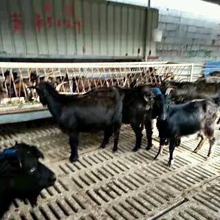 山东菏泽黑山羊 110-140斤