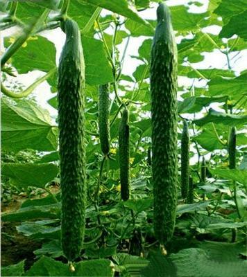 甘肃白银密刺黄瓜 30cm以上 干花带刺