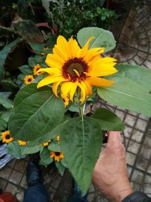 山东潍坊青州市向日葵 0.5米以下