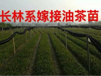 江西新余油茶苗 长林系 一年苗