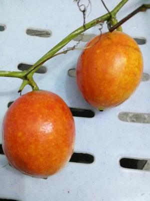重庆吊瓜子 12-18个月