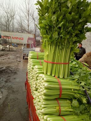 安徽宿州法国皇后芹菜 55~60cm 0.5斤以下