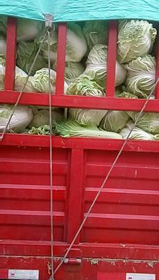 山西省晋中市太谷县秦白系列 3~6斤 净菜