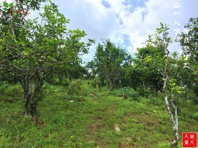 云南临沧普洱生态茶 散装 一级 大雪山古树大树纯料
