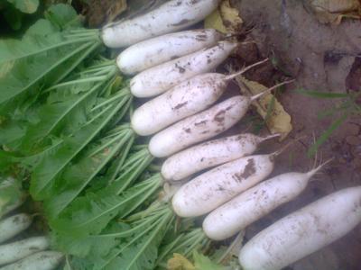 山东聊城白萝卜 2~2.5斤