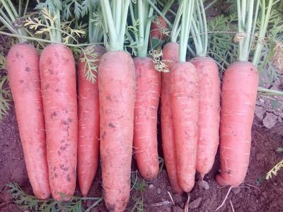 内蒙古乌兰察布红皮胡萝卜 3~4cm 15cm以上 3两以上