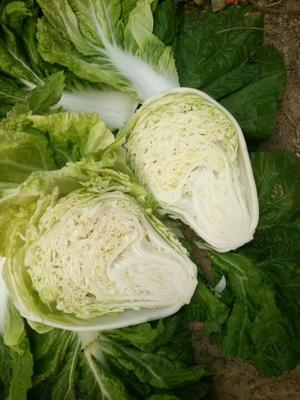 河南省开封市通许县夏阳白菜 3~6斤 净菜