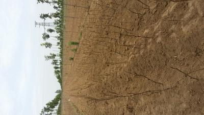 河南郑州油用牡丹种苗 0.5米以下 8~10cm 6~8cm