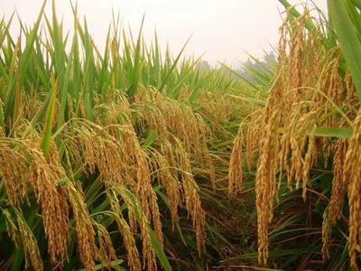 这是一张关于糙米 二等品 晚稻 绿色食品 长粒丰两优香米的产品图片