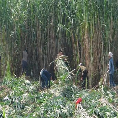 江苏省宿迁市沭阳县高粱种子 种子
