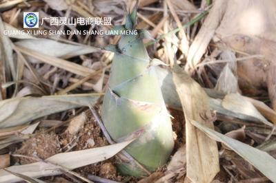 广西钦州麻笋 鲜笋 30cm以上 一斤装