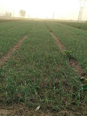 河南新乡红根蒜苗 50 - 60cm