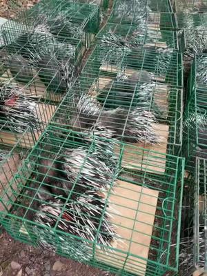 湖南永州中华豪猪 30-40斤