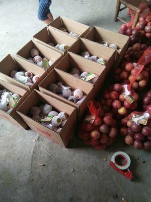 福建龙岩紫色百香果 90 - 100克