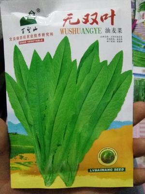 北京海淀区油麦菜种子 种子