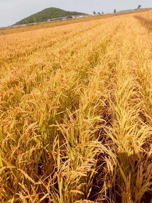 吉林延边朝鲜粳稻谷 中稻