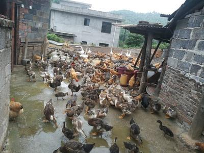 湖南郴州土鸭 4-5斤 统货