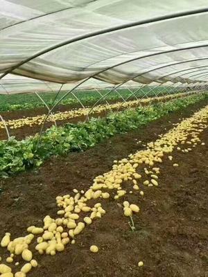 山东临沂荷兰15号土豆 2~4两
