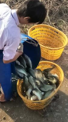 广东佛山加州鲈鱼 1-1.5公斤 人工养殖