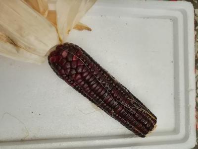 这是一张关于玉米干粮 净货 霉变≤1%的产品图片