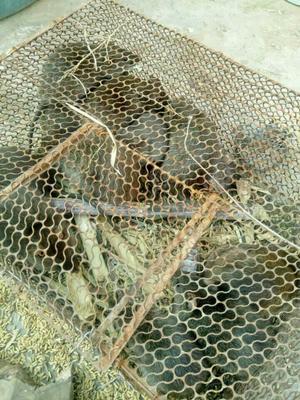广西来宾小竹鼠 1斤以下