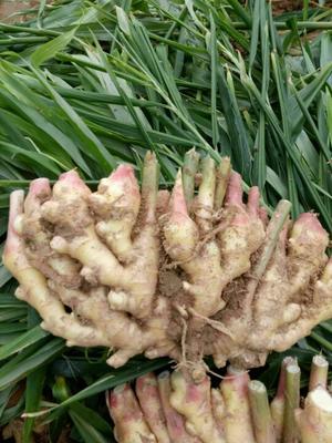 这是一张关于莒县大姜 3两以上 带土的产品图片