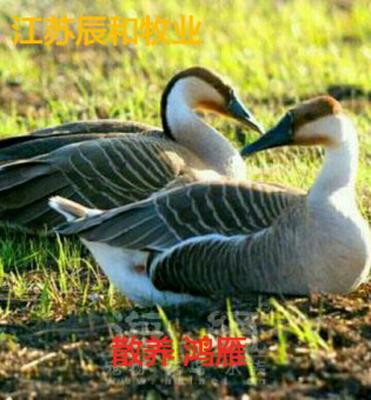 江苏苏州鸿雁