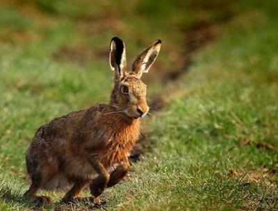 这是一张关于比利时野兔 1斤以下的产品图片