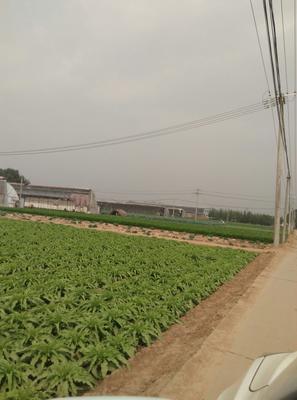 山东省济南市历城区青叶莴笋 70cm以上 1.0~1.5斤