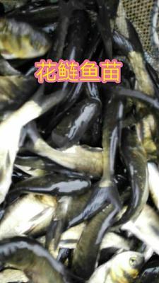 这是一张关于大头鱼鱼苗的产品图片