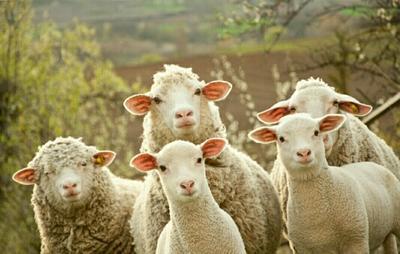 甘肃临夏绵羊 30-50斤