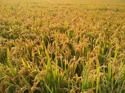 天津长粒稻 晚稻