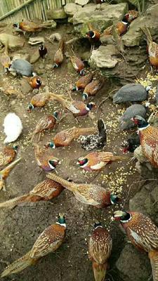 湖北恩施土野山鸡 2-3斤
