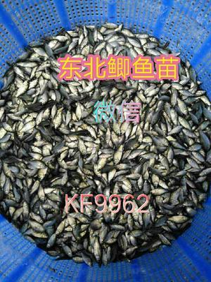 这是一张关于黑鲩 0.05公斤 人工养殖的产品图片