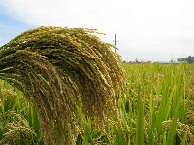 辽宁沈阳籼稻谷 中稻