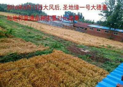 山东泰安肥城市小麦种子 种子