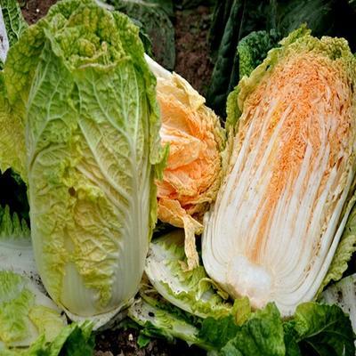 黑龙江省齐齐哈尔市讷河市红心大白菜 3~6斤 净菜