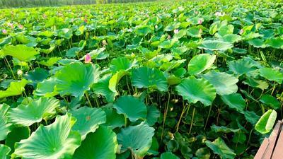 江苏扬州藕粉 12-18个月