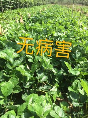 章姬草莓苗 地栽苗 20~30公分
