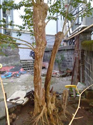 湖南湘西紫薇树