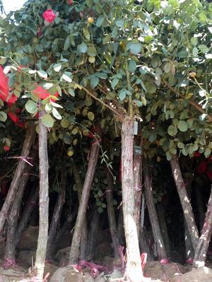 河南南阳树状月季