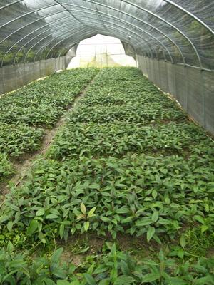 这是一张关于粉红黑老虎苗的产品图片