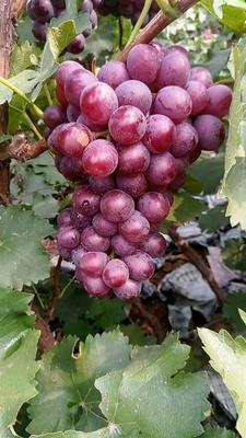 河北保定巨峰葡萄 1 - 2斤 5%以下