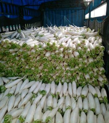 河北邯郸白萝卜 1.5~2斤