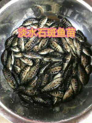 这是一张关于淡水石斑 人工殖养 0.5公斤以下的产品图片